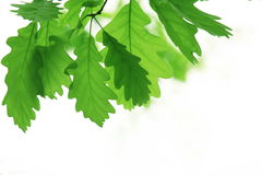 Green leaves. Beautyful nature scene with leaves royalty free stock photo