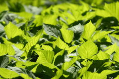 Green leaves. Young spring green leaves (Aegopodium royalty free stock photos