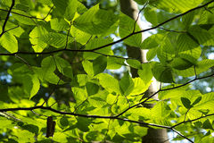Green Leaves. Beautiful Green Leaves on a branch Royalty Free Stock Image