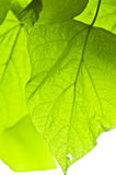 Green leaves Stock Image