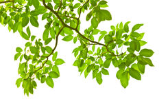 Green leaves. Green leave on white background Royalty Free Stock Photography