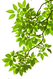 Green leaves. Green leave on white background Stock Photography