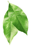 Green leaves. Isolated on white, clipping path included Royalty Free Stock Photos