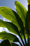 Green leaves. Closeup of big green palm leaves in front of blue sky Royalty Free Stock Photo