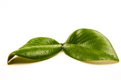 Green leaves. Drop green leaves on a white background Royalty Free Stock Images