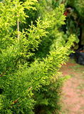 Green leaves. Lush pine green leaves in a garden Royalty Free Stock Images