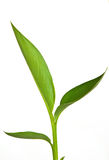 Green leaves. On the white background Royalty Free Stock Photography