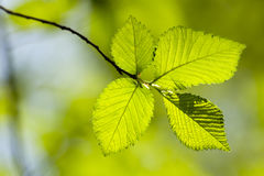 Green leaves. Green tree leaves, shallow focus Stock Image