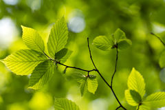 Green leaves. Green tree leaves, shallow focus Stock Images