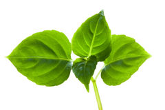 Green leaves. Stock Image