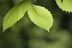 Green leaves. In a clear sunlight Stock Image