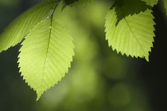 Green leaves. In a clear sunlight Stock Photography
