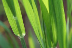 Green leaves. Of wheat close up Royalty Free Stock Images