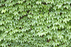 Green leaves. The background of ivy leaves Royalty Free Stock Photo