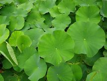 Green leaves. A sea of green leaves royalty free stock photography