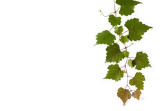 Green leaves. Young green leaves against white background Royalty Free Stock Photos