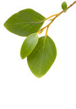 Green  leaves. Isolated on white. Copy space for your text Royalty Free Stock Photography