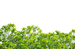Free Green Leaves Stock Photography - 23284742