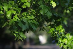 Green leaves. The green leaves fulled of live in a park Royalty Free Stock Photography