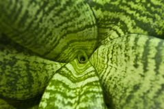 Green leaves. Of succulent plant close up Royalty Free Stock Photography