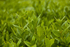 Green leaves. Closeup of green leaves wall background Stock Photo