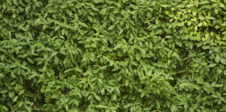 Green leaves. Wall background - hedge stock image