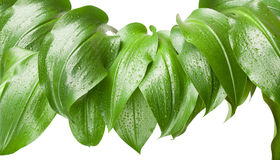 Green leaves. Big green leaves with rain droplets. Isolated on white background Stock Photo