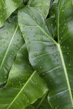 Green leaves. With water droplets stock photography