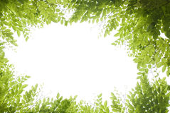 Green leaves. Panoramic Green leaves on white background Royalty Free Stock Photography