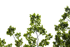 Green leaves. Panoramic Green leaves on white background Royalty Free Stock Photos