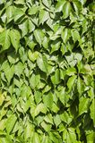 Green Leaves. Texture of leaves on a sunny day Stock Images