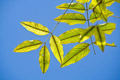Green leaves. Green leaves on a blue background Royalty Free Stock Photography
