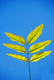 Green leaves. Green leaves on a blue background Stock Photo
