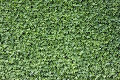 Green leaves. The wall brick covered by green leaves royalty free stock photos