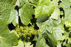 Green leaves. A bunch of green vine leaves with blossoms in sunshine outdoors Stock Photo