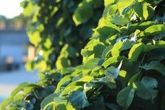 green leaves royaltyfria foton