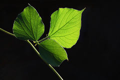 Green leaves. In black background in sunny day royalty free stock photography