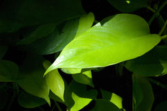 Green Leaves. Of apartment plants. Shot taken within a museum with light coming from the glass ceiling Stock Images