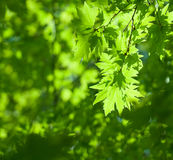 Green leaves, Royalty Free Stock Image