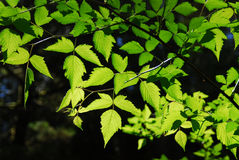 Green leaves Royalty Free Stock Photos