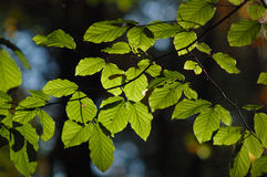 Green leaves. Green beech leaves with sunny light stock photo