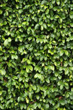 Green leaves. Background image of a wall of a building covered in green plants leaves stock photos
