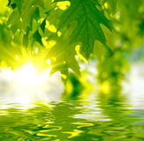 Green leaves. Reflecting in the water Stock Photo