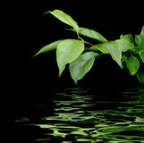 Green leaves. Reflecting in the water on a black background stock image