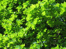 Green leaves. View of nice green leaves Stock Image