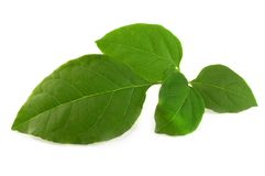 Green leaves. Isolated green leaves on white background Royalty Free Stock Images