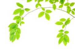 Green Leaves Royalty Free Stock Image