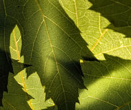 Green leaves. Abstract macro photo of leaves Royalty Free Stock Images