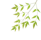 Green leaves. Against white background Royalty Free Stock Photo