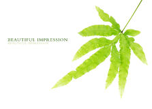 Green leaves. Against white background Royalty Free Stock Photos